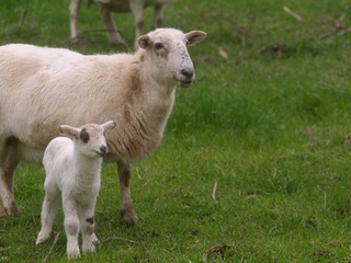 Parable of the Lamb